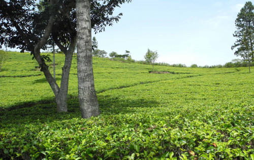 Greenfields Estate, Sri Lanka, a personal viewpoint